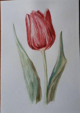 Тюльпан,мараон Весенняя нежность.